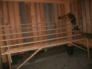 Now their roost is inside the Chicken house.